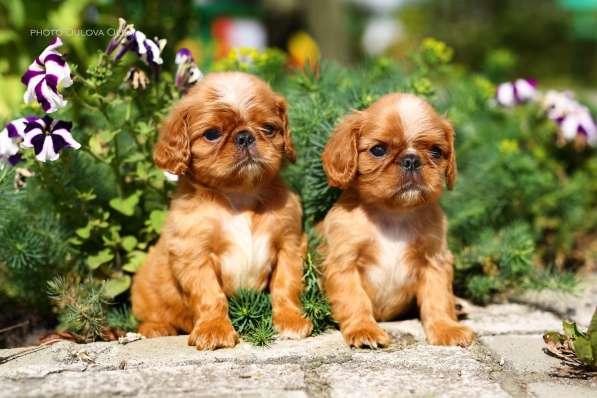 Продаются очаровательные щенки Кинг Чарльз Спаниель