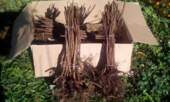 Саженцы ореха фундука сорт Трапзон, Черкесский-2, Гальский в Краснодаре фото 3
