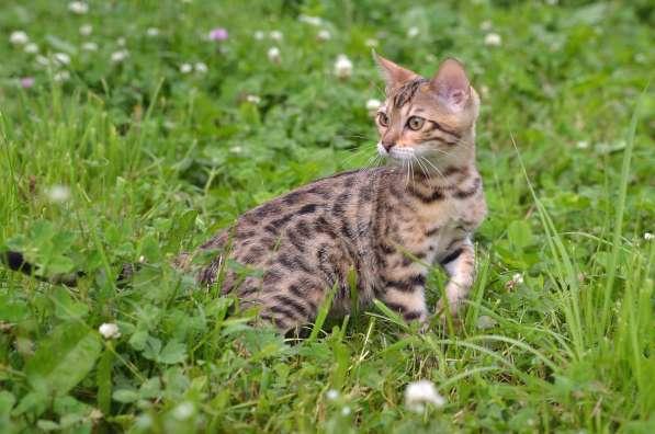 Бенгальсике котята в Нижнем Новгороде фото 17