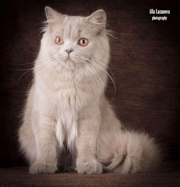 Продается! Британский длинношерстный котик