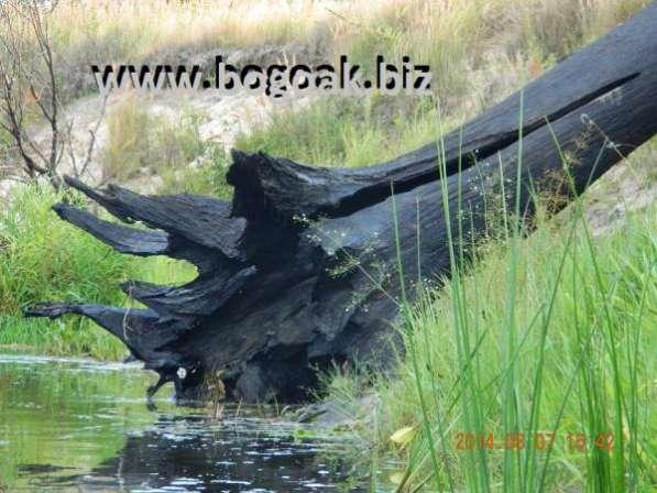 Уникальные стволы натурального морёного дуба