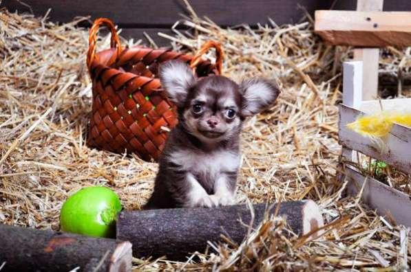 Красивые щеночки породы Чихуахуа!