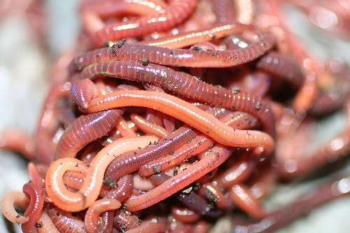 Принимаем заказы на поставки червя