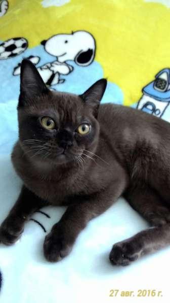 Элитные чистокровные котята Американской Бурмы