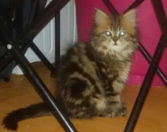 Персидские котята продаются