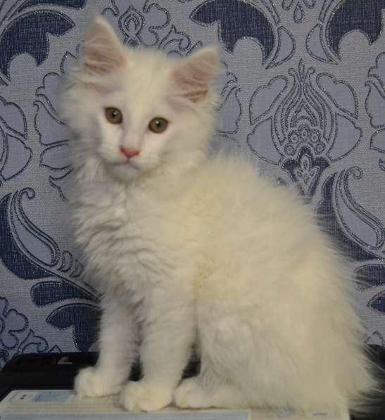 Котята мейн-куны от чемпионов