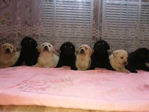 Великолепные щенки лабрадора в Ростове-на-Дону фото 9