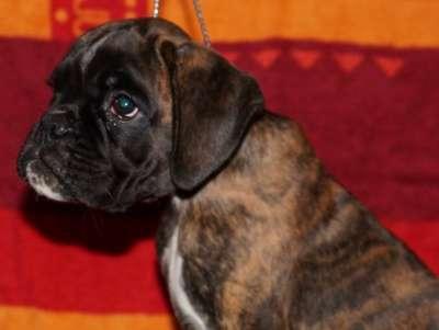 Немецкого боксера щенок с родословной