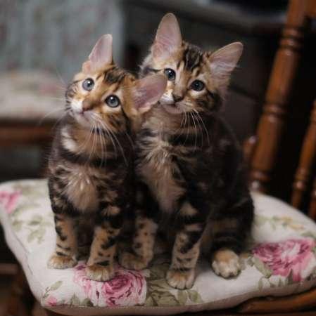 Бенгальские кашемировые котята
