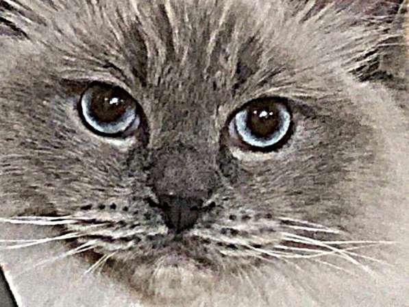 Котята породы Рэгдолл в Кургане