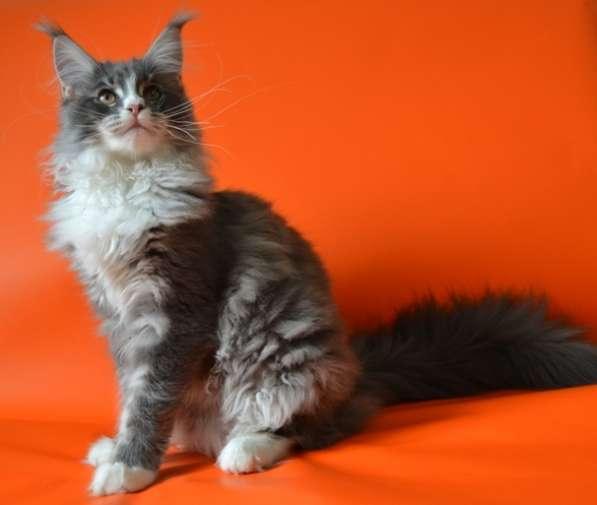 Кошечка мейн кун в разведение (совладение)