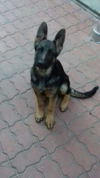 Продам щенков немецкой овчарки с родословной