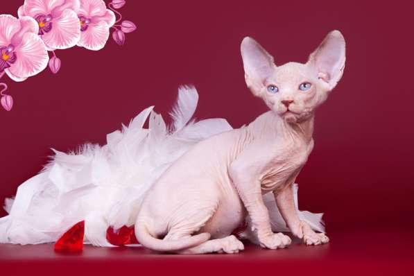 Бархатный котёнок с душой Эльф, Двэльф, бамбино или сфинкс в фото 6