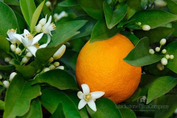 Лимоны плодоносящие