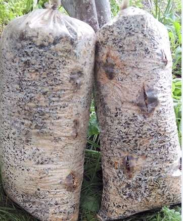 Отработанные грибные блоки вешенки