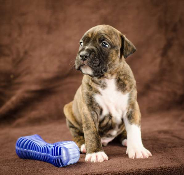 For Sale American Staffordshire Terrier puppy UKU