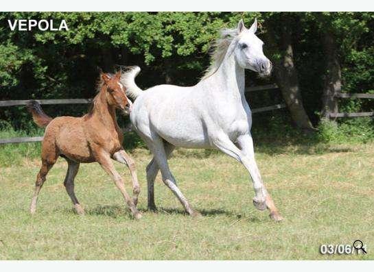 Продажа лошадей арабской чистокровной породы в Абинске
