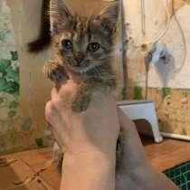Серый котенок, в г.Краснодар