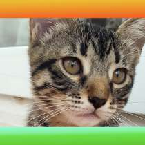 Котята Севастополь. Тигристая девочка-красавица, в Севастополе