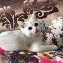 Серебристый котик, в г.Санкт-Петербург