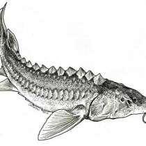 Живая рыба Осетр, в Москве
