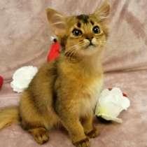 Somali kitten, в г.Рига