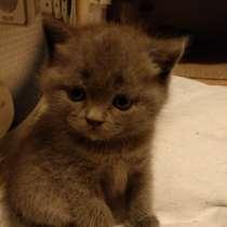 Продам котят породы Британская короткошерстная, в Севастополе