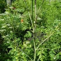 Болиголов цветы, семена, саженцы, сухая трава, в Москве