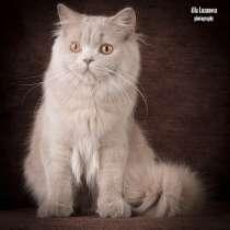 Продается! Британский длинношерстный котик, в Санкт-Петербурге
