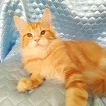 Котята Мейн Кун, в Нижнем Тагиле