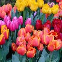 Тюльпаны оптом и в розницу к 8 марта, в г.Минск