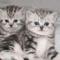 самые красивые мраморные котята, в Санкт-Петербурге
