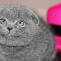 Голубые вислоухие котята, в г.Санкт-Петербург