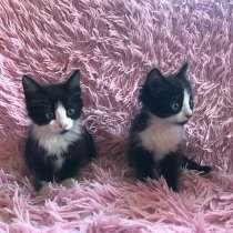 Черно-белые котята, в г.Краснодар
