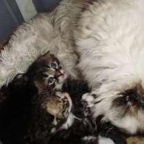 Кудрявые котята, в г.Краснодар