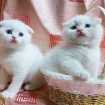 Снежные Барсы/шотландские котята, в г.Минск