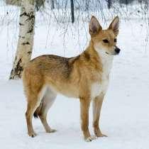 Миниатюрная, изящная комнатная собачка Лисена ищет дом, в Москве