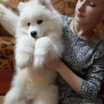 Samoyed puppies, в Иванове