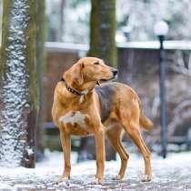 Молодая красавица Диана, собака породы русская гончая в дар, в г.Москва