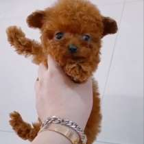 Poodle puppies delivery from, в г.Милан