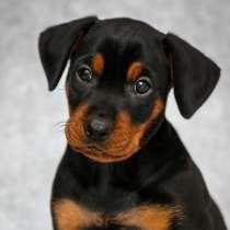 German Pinscher puppies, в г.Гомель