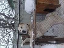 Продам щенков алабая, в Челябинске