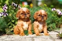 Продаются очаровательные щенки Кинг Чарльз Спаниель, в Новосибирске