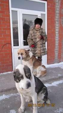 Вязка-2 кобеля алабая с шикарными родословными, в г.Темиртау