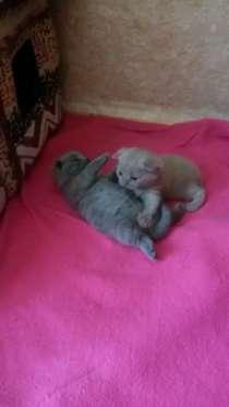 Шотландские котята, в г.Колпино