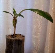 Продам недорого Молочай - комнатное растение, в г.Уральск