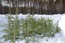 Саженцы ели сибирской,35-55 см, в Екатеринбурге