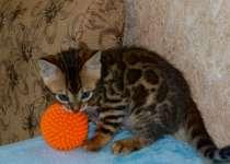 Бенгальские котята, в Челябинске