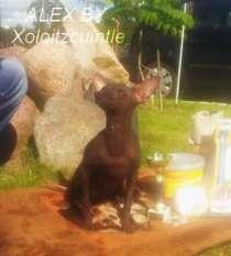 Мексиканская голая собака миниатюра, в г.Полоцк