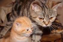 Чистокровные котята, в Нижнем Новгороде